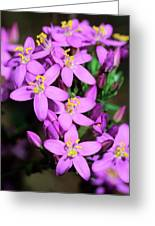 Centaury (centaurium Erythraea Erythraea) Greeting Card