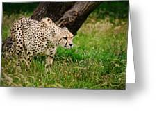 Cheetah Acinonyx Jubatus Big Cat  Greeting Card