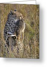 Cheetah Carrying Its Prey Greeting Card