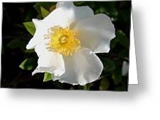 Cherokee Rose Greeting Card