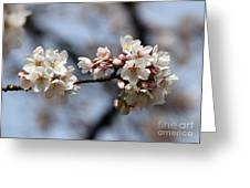 Cherry Blossom 3 Greeting Card