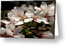 Cherry Blossom - 3 Greeting Card