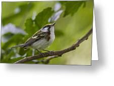 Chesnutsided Warbler Greeting Card
