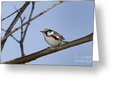 Chestnut Warbler Greeting Card