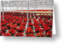 Christmas Poinsettia's. Greeting Card