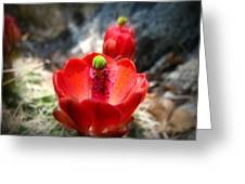 Claret Cup Bloom Greeting Card