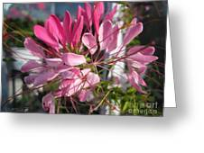 Cleome Named Cherry Queen Greeting Card
