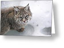 Close-up Bobcat Lynx On Snow Looking At Camera Greeting Card