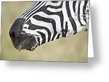 Close-up Of A Burchells Zebra Equus Greeting Card