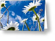 Close-up Shot Of White Daisy Flowers From Below Greeting Card