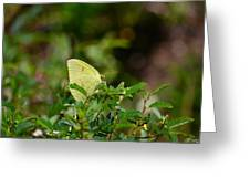 Clouded Sulphur Butterfly Greeting Card