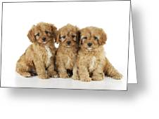 Cockapoo Puppy Dogs Greeting Card
