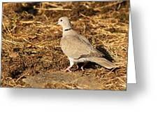 Collared Dove Greeting Card