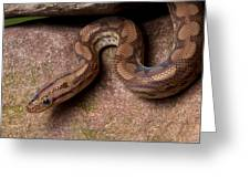 Colombian Rainbow Boa Epicrates Maurus Greeting Card