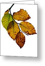 Colorful Leaves Isolated On A White Background Greeting Card