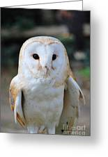 Common Barn Owl Greeting Card