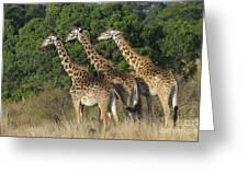 Common Giraffe Greeting Card