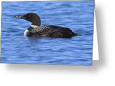 Common Loon Swimming  Greeting Card