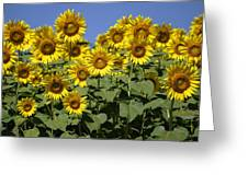 Common Sunflower Flowers Japan Greeting Card