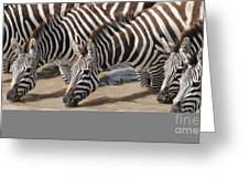 Common Zebras Drinking Water Greeting Card