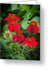 Coneflowers Echinacea Red  Greeting Card