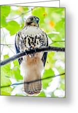 Coopers Hawk Perched On Tree Watching For Small Prey Greeting Card