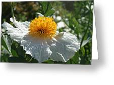 Coulter's Matilija Poppy 1 Greeting Card