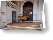 Cow At Church At Colva Greeting Card
