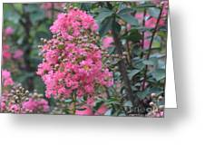 Crepe Myrtle Blossoms  Greeting Card