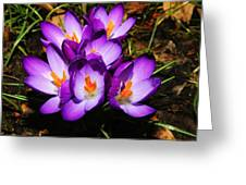 Crocus Flower Greeting Card