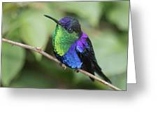 Crowned Woodnymph Hummingbird Male Greeting Card