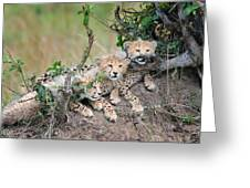 Curious Kittens Greeting Card