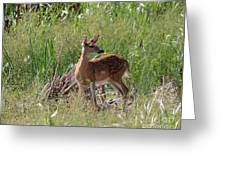 Curious Whitetail Greeting Card