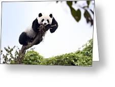 Cute Young Panda Greeting Card