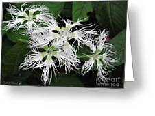 Dianthus Superbus - White Greeting Card