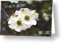 Dogwood Blooms Greeting Card
