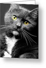 Domestic Gray And White Short Hair Greeting Card