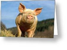 Domestic Pig Greeting Card