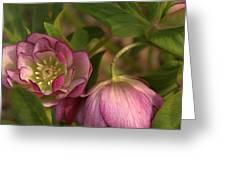 Double Lenten Rose Greeting Card