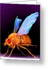 Drosophila Greeting Card