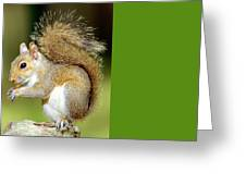 Eastern Gray Squirrel Greeting Card