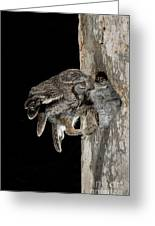 Eastern Screech Owls At Nest Greeting Card