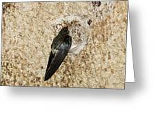 Edible-nest Swiftlet On Nest Greeting Card