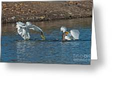 Egrets Robbing A Cormorant Greeting Card