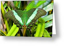 Emerald Swallowtail Butterfly Greeting Card