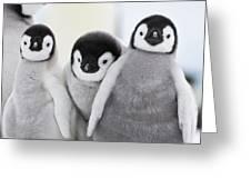 Emperor Penguin Chicks Greeting Card