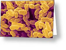 Erwinia Bacteria, Sem Greeting Card by Power And Syred