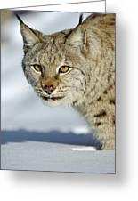 Eurasian Lynx In Snow Greeting Card