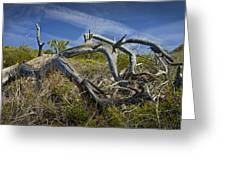 Fallen Dead Torrey Pine Trunk At Torrey Pines State Natural Reserve Greeting Card