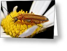 False Blister Beetle Greeting Card by Science Photo Library